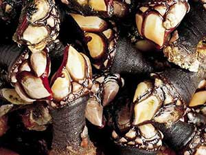 seafood-percebes