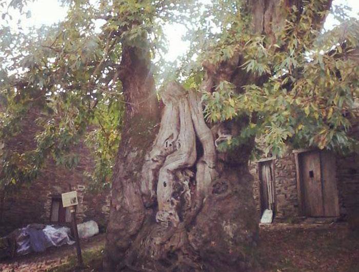 O-Cebreiro-centennial-chestnut