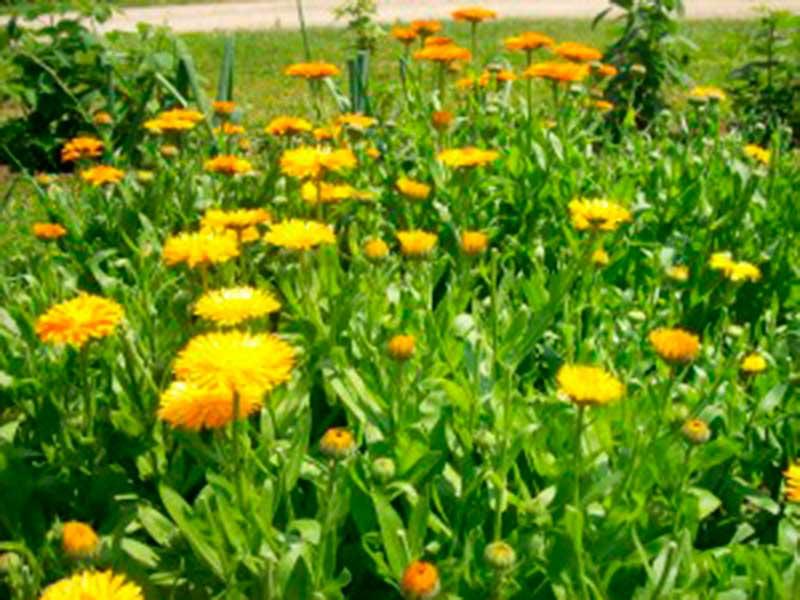 wild-herbs-Camino-de-Santiago-003